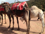 Getting ready for a camel ride